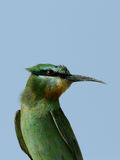 Blue-cheeked bee-eater Stock Photography