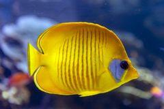 Blue-cheeked fish Chaetodon semilarvatus, a species of butterflyfish of mostly yellow. A coral reef fish of Blue-cheeked Chaetodon semilarvatus, a species of Stock Image