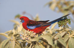 Blue-cheeked rosella, Platycercus elegans Stock Photography