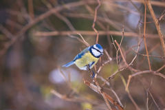 Blue chickadee on the branch in winter Royalty Free Stock Image
