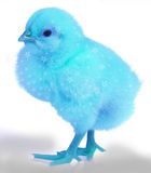 Blue chicken. Abstract blue pile resembles Beby blue Royalty Free Stock Photography