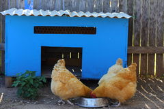 Chickens and Coop. A blue chicken coop with three chickens eating out of a bowl Royalty Free Stock Photography