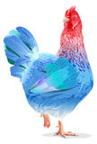 Blue chicken female symbol new year 2017 Royalty Free Stock Images