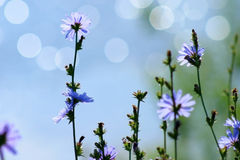 Blue chicory Royalty Free Stock Images