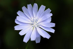 Blue Chicory Flower Stock Images