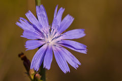 Blue chicory flower. Macro shoot stock photography