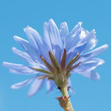 Blue chicory flower and bugs Royalty Free Stock Photos