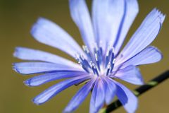 Blue chicory flower closeup Stock Images