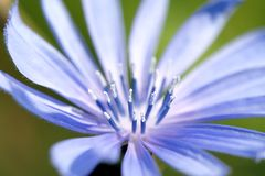 Blue chicory flower closeup Stock Photo