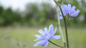 Blue Chicory Flower. Common chicory, is a somewhat woody, perennial herbaceous plant usually with bright blue flowers, rarely white or pink. Various varieties stock video footage