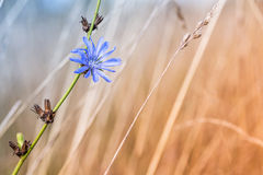 Blue chicory flower on a dead and dried thistle Royalty Free Stock Images