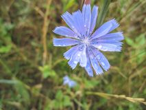 Blue chicory flower. With drops of morning dew in grass stock images