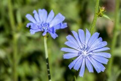 Blue, Chicory, Flower, Flora stock image