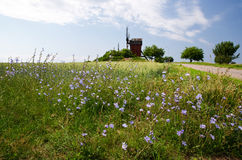 Blue chicory flowers. Chicory-flowers and windmill in Kolstad Oland Sweden Stock Image