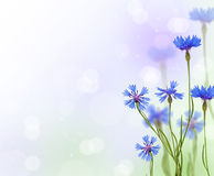 Blue chicory flowers background Stock Photos
