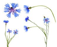 Blue chicory flowers colection isolated on white Stock Photos
