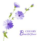 Blue chicory flowers. Stock Photo
