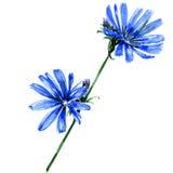 Blue chicory flowers isolated on white background Stock Photos
