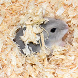 Blue Chinese Hamster Stock Photos