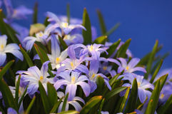 Blue chionodoxa. In spring garden Stock Images