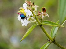 A blue Chlorocala insect on white flowers royalty free stock photo