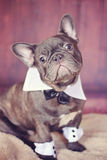 Blue & Chocolate Frenchie dressed up Royalty Free Stock Image