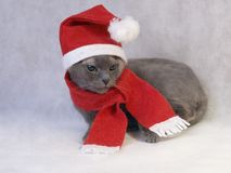 Blue Christmas cat Royalty Free Stock Image