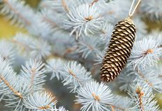 Blue christmas tree branch with gold decoration pine cone stock image