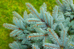 Blue Christmas tree. Blue Christmas tree isolated on green background Royalty Free Stock Images