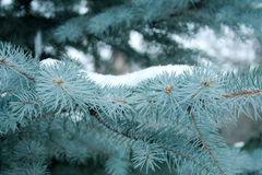 Blue Christmas tree. In winter Park Royalty Free Stock Photo