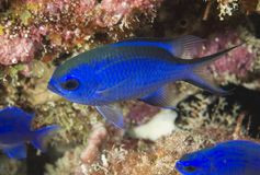Blue Chromis. Chromis cyanea profile view Stock Photography