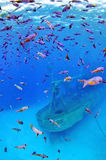 Blue chromis with the Kittiwake Wreck Royalty Free Stock Images