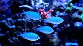 Blue Chromis swimming in coral reef aquarium