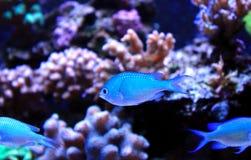 Blue Chromis swimming in coral reef aquarium