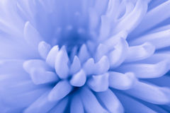 Blue chrysanthemum background Royalty Free Stock Photo