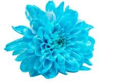 Blue Chrysanthemum Flower Stock Image