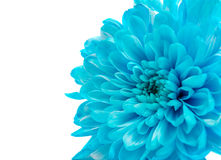 Blue Chrysanthemum Flower Isolated Stock Images