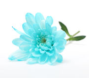 Blue chrysanthemum flower Royalty Free Stock Images