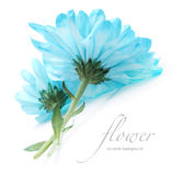 Blue chrysanthemum flower Stock Photos
