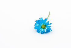 Blue Chrysanthemum flower on white background Stock Photos