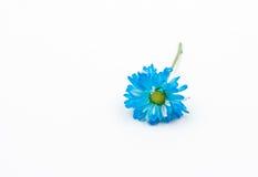 Blue Chrysanthemum flower on white background Stock Photos