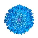 Blue chrysanthemum Royalty Free Stock Photos