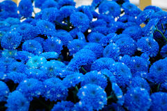 Blue  Chrysanthemum Royalty Free Stock Images