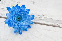 Blue chrysanthemum over white wooden background Stock Image