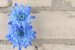 Blue chrysanthemums over grey brick wall Stock Photography