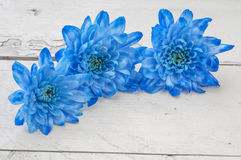 Blue chrysanthemums over white wooden background Royalty Free Stock Photo