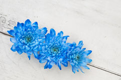 Blue chrysanthemums over white wooden background Stock Image