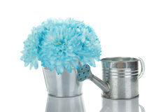 Blue chrysanthemums in a pail Royalty Free Stock Photography