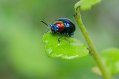 Blue chrysochus pulcher on green leaf. Closeup macro shot colorful ladybug with green background Stock Image