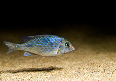 Blue cichlid Royalty Free Stock Photography